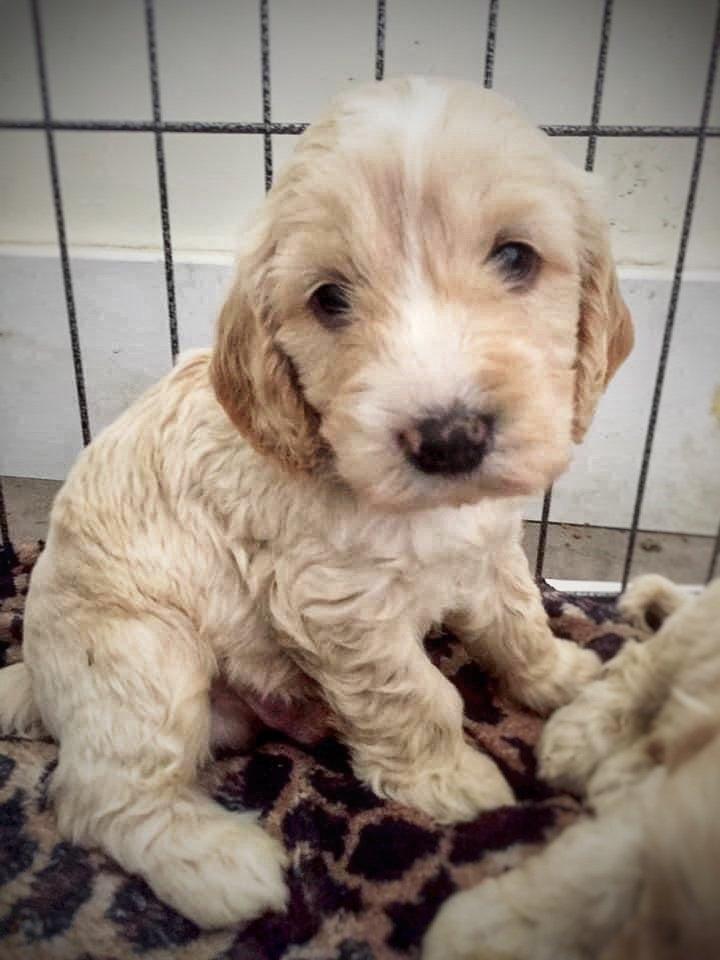 Puppy crate training - Cockapoo puppy