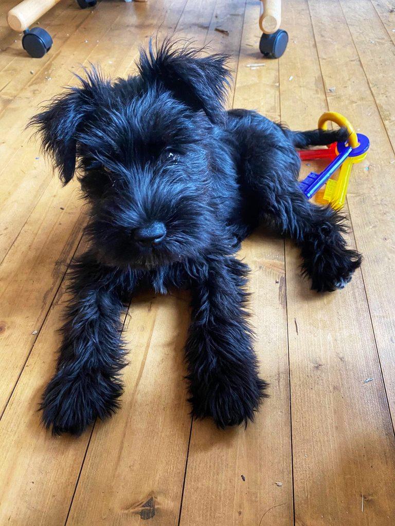 Schnauzher puppy