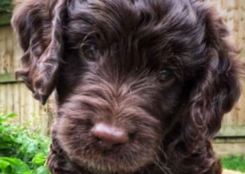 Online Puppy Course - Cockapoo puppy